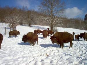 Février 2006: un temps rèvé pour des bisons