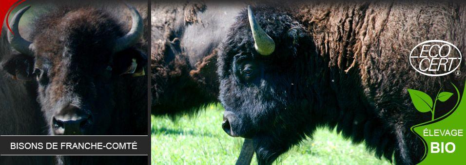bisons-3