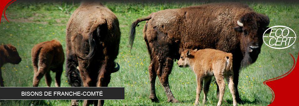 bisons-2