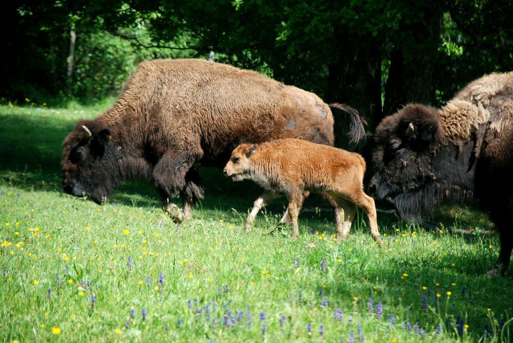 Petit bisonneau et sa mère
