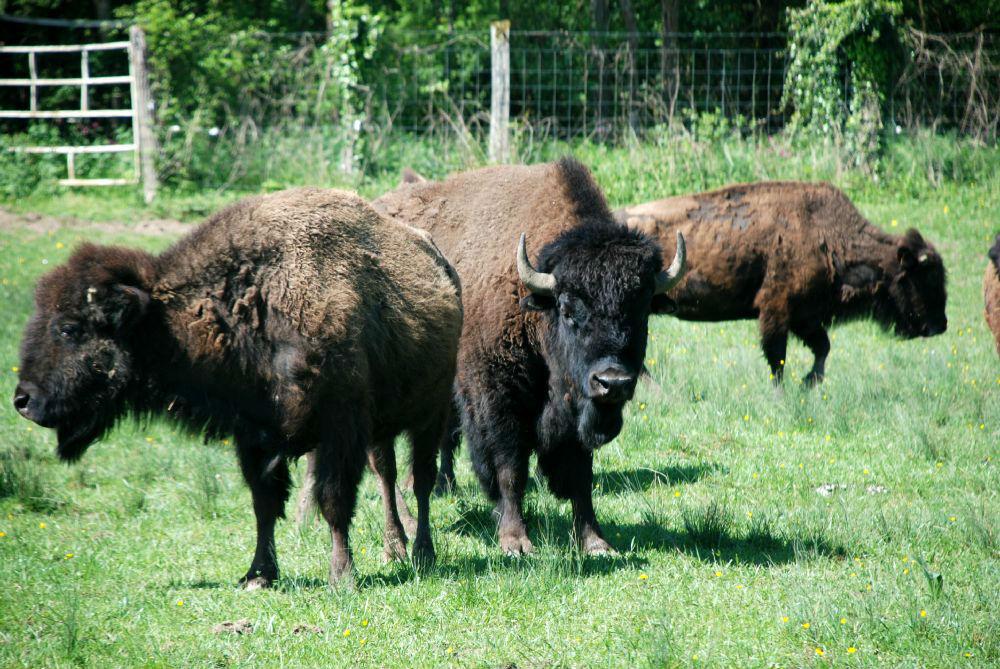 Nos bisons