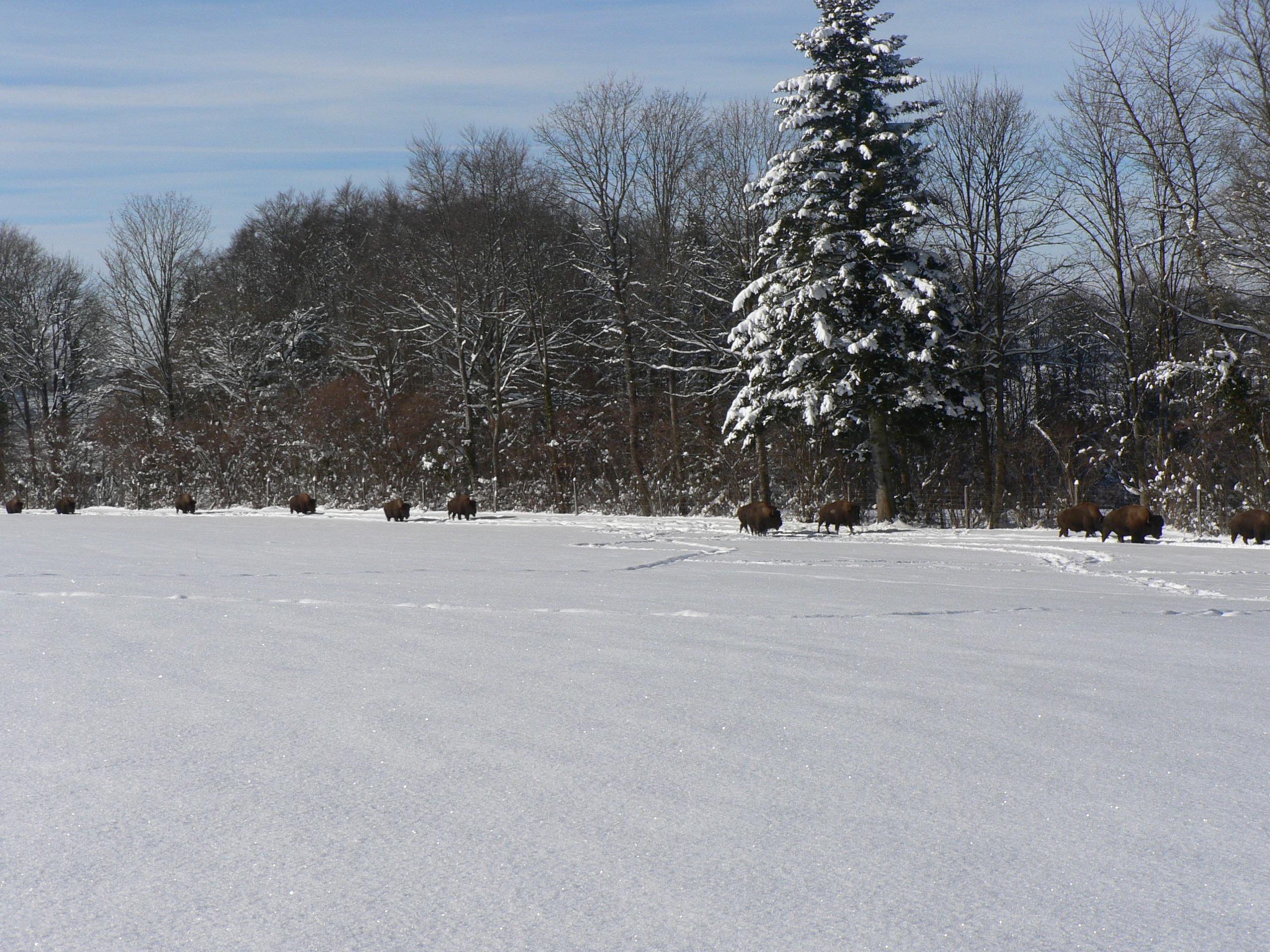Les bisons du Sachuron sous la neige